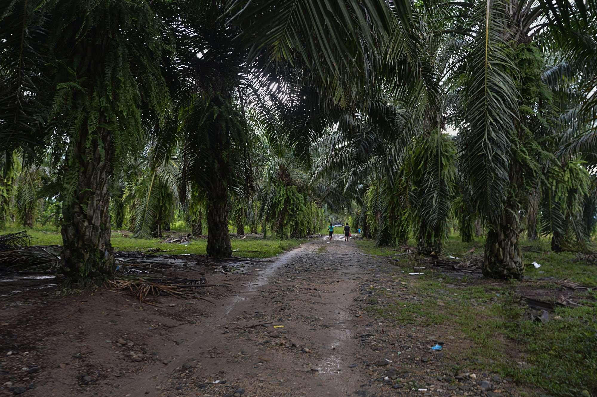 Palma de aceite en Sayaxché Petén, Río Salinas. Foto Nelton Rivera
